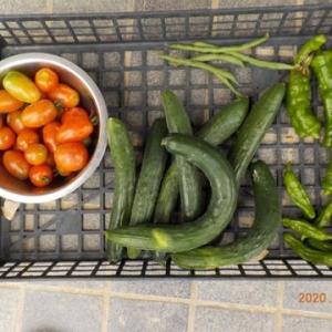 今日の収穫 トマト キュウリ インゲン とうがらし シシトウ