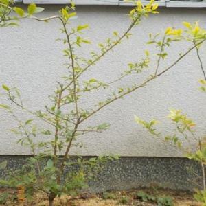 ブルーベリー(ブルーシャワー)の挿し木をしました
