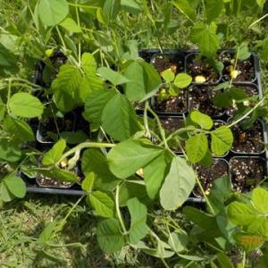 黒豆とキュウリを植え付けました