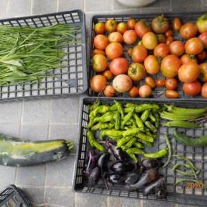 今日の収穫 トマト ニラ ナス シシトウ オクラ インゲン ズッキーニ