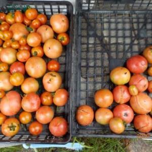 今日の収穫 トマト ナス オクラ キュウリ シシトウ インゲン シロウリ