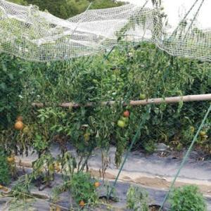 トマト 今日は3本青枯れ