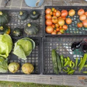 今日の収穫 カボチャ トマト キャベツ プリンスメロン キュウリ オクラ シシトウ ナス