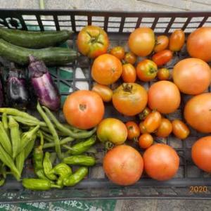 今日の収穫 トマト キュウリ ナス オクラ シシトウ インゲン