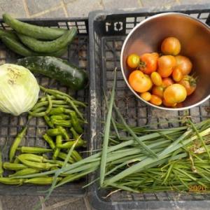 今日の収穫 トマト ニラ ネギ キュウリ キャベツ インゲン オクラ ナス