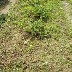 イチゴの畝の草取りの続きを少しだけしました