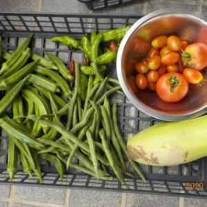 今日の収穫 オクラ シシトウ トマト インゲン シロウリ ナス