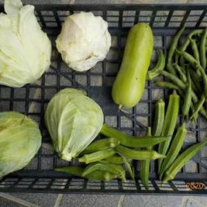 今日の収穫 キャベツ シロウリ インゲン オクラ カボチャ キュウリ ナス トマト
