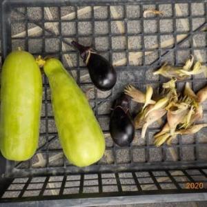 今日の収穫 シロウリ ナス ミョウガ オクラ インゲン シシトウ トマト