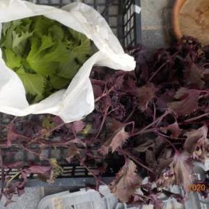 今日の収穫 青ジソ 赤シソ トマト キュウリ オクラ インゲン シロウリ ナス