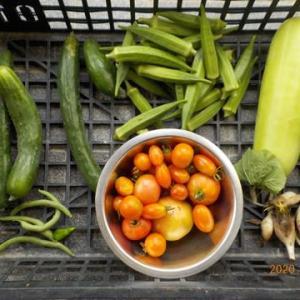 今日の収穫 キュウリ オクラ シロウリ ミョウガ トマト インゲン シシトウ ナス