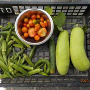 今日の収穫 トマト シロウリ オクラ キュウリ インゲン