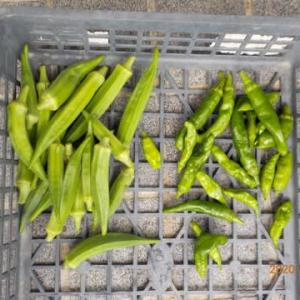 今日の収穫 オクラ シシトウ
