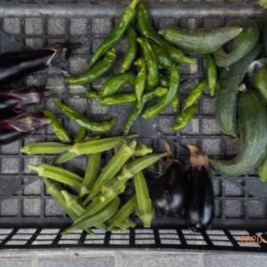 今日の収穫 ナス シシトウ キュウリ インゲン サツマイモ