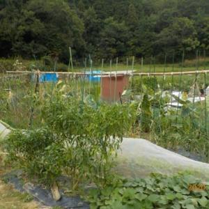 蔓ありインゲン・キュウリの畝を片付け始めました