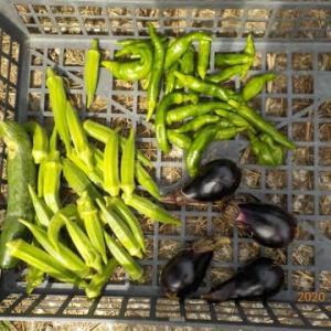今日の収穫 オクラ ナス キュウリ シシトウ サツマイモ