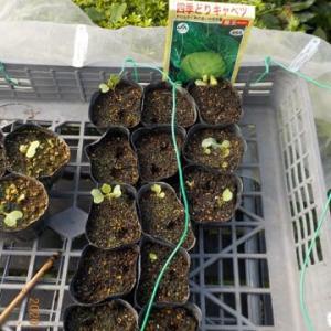 キャベツ サラダミックス リーフレタス チマ・サンチュ 追加で種を蒔きました