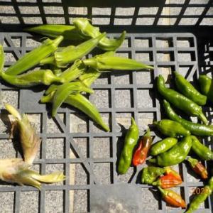 今日の収穫 オクラ シシトウ ミョウガ