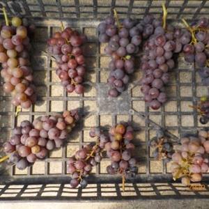 最後のブドウの収穫 ネットを片付けました