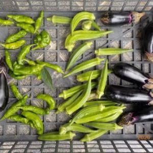 今日の収穫 オクラ ナス シシトウ