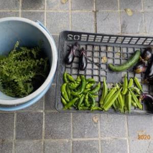 今日の収穫 ナス オクラ シシトウ キュウリ 青ジソの実