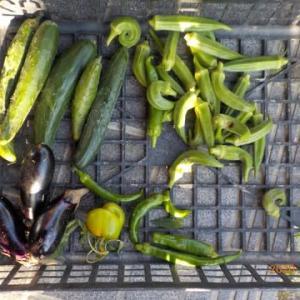 今日の収穫 キュウリ オクラ ナス パプリカ シシトウ
