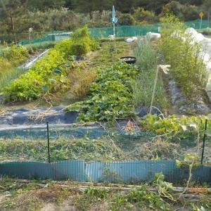 畑全景 サツマイモは残りわずかに