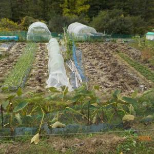 タマネギ・イチゴの畝の準備を始めました