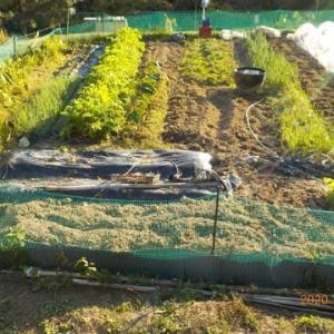 たくさん耕しタマネギとイチゴの畝は畝立てしました