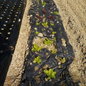 順調です すでに植えていたチマ・サンチュ サラダミックス タカナ