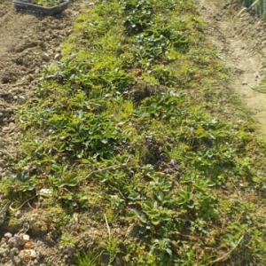 イチゴの植え付けを始めました