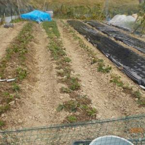 イチゴの植え付けの続きをしました