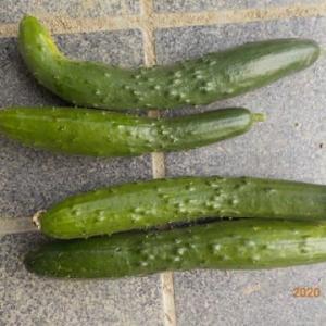 今日の収穫 キュウリ4本