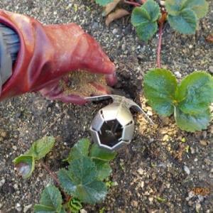 庭でもイチゴに追肥をしました