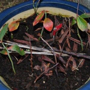 ブルーベリーの挿し木を植え付けました
