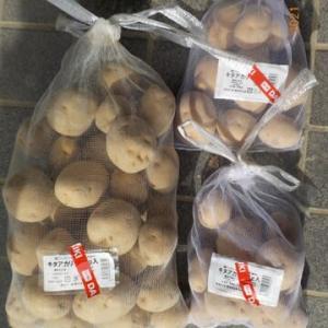 ジャガイモの種イモを買って浴光催芽をはじめました