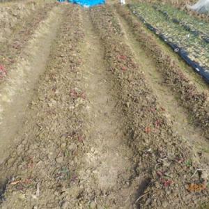 イチゴの畝の草取りをしました