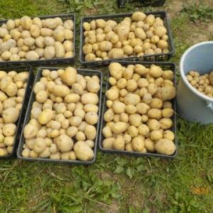 今日の収穫 ジャガイモ キャベツ キュウリ インゲン