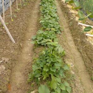 サツマイモを22本植えつけました 合計277本に