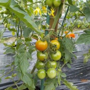 トマトの畝に防鳥ネットをしました