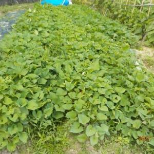 サツマイモの蔓返し・草取り・ダイアジノン散布を始めました