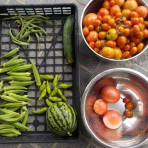 今日の収穫 トマト オクラ インゲン キュウリ シシトウ スイカ