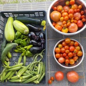 今日の収穫 トマト シロウリ ズッキーニ ナス キュウリ オクラ ピーマン シシトウ