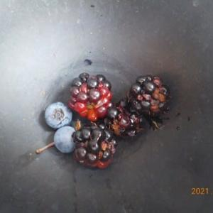 ブルーベリーとブラックベリーを収穫しました