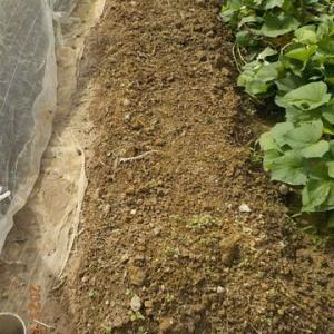 耕して忘れていた畝にマルチをしました