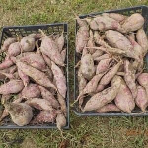 今日の収穫 サツマイモ オクラ ナス