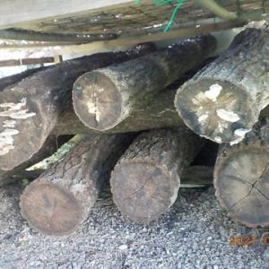 シイタケのほだ木が