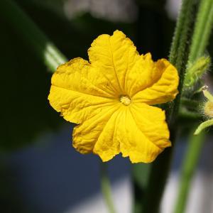今日の写真 キュウリの花 2021.06.21