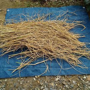 よっくんの田んぼの稲刈り