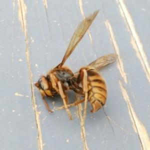 蜂、一匹でも八